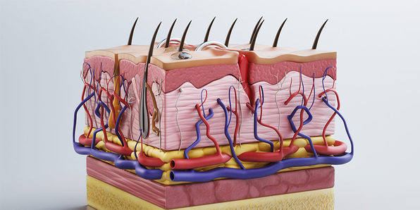 Integumentary System, Part 2: Main Functions - Product Image